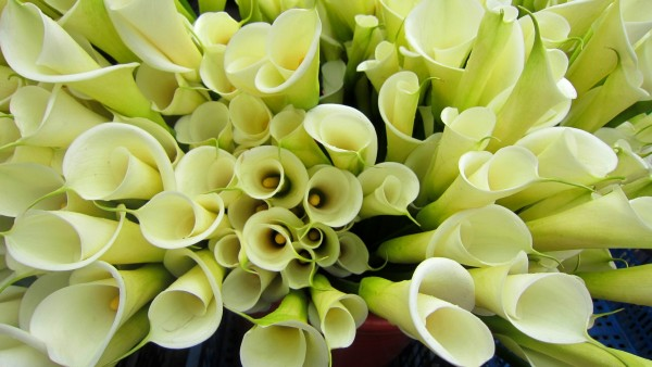 Flower Dictionary: Calla