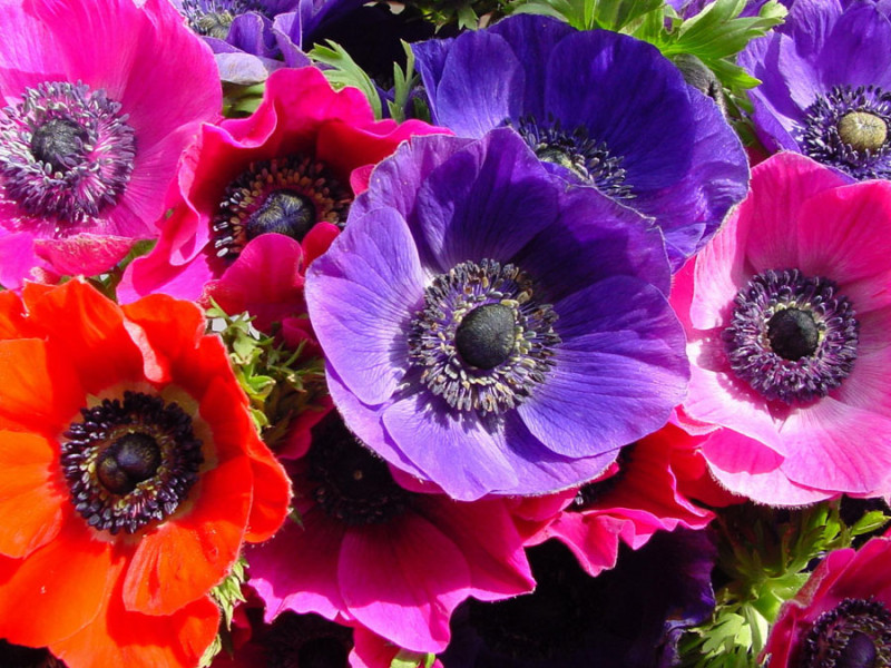 Floral Dictionary: Anemone