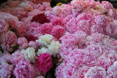 Floral Dictionary: Peonies
