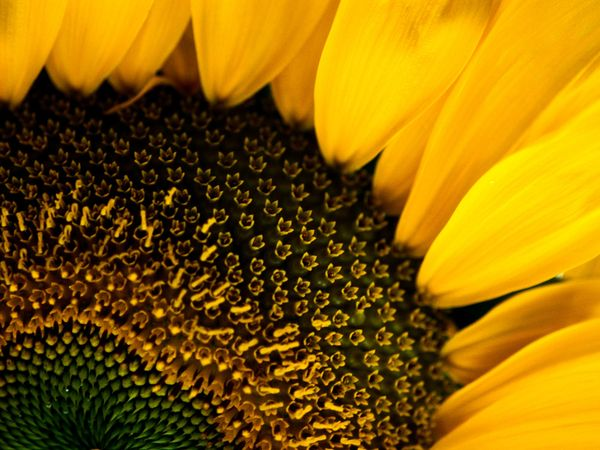 Floral Dictionary: Sunflowers