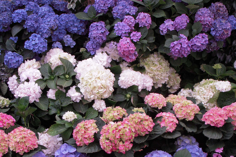 Floral Dictionary: Hydrangea