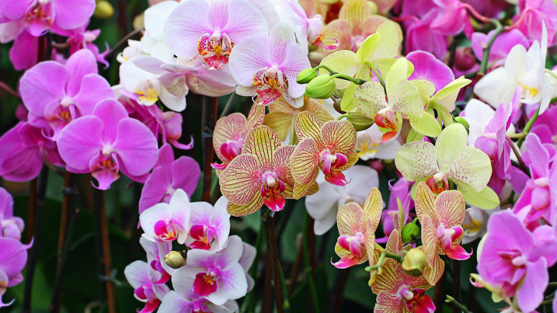 Floral Dictionary: Orchids