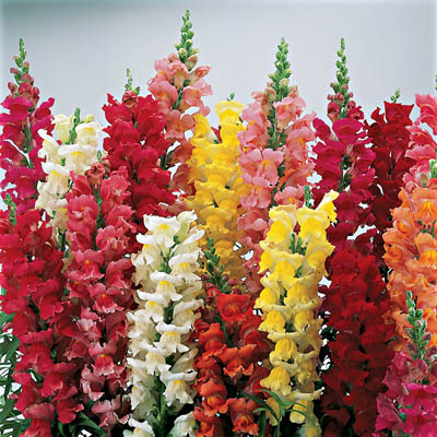 Floral Dictionary: Snapdragons